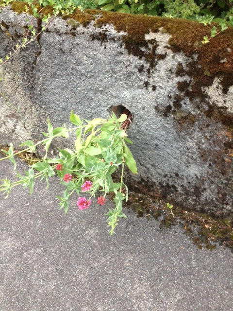 This plant--a beautiful weed--does not understand proper behavior around rocks. It just finds a way.