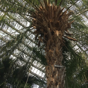 This palm was planted at the Garfield Conservatory in 1926. It takes time and tending over generations to get something like this.
